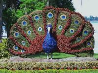 ตกแต่ง สวนดอกไม้ รูปนกยูง 15 อลังการณ์งานสวนสวย