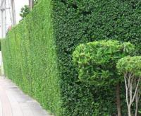 ต้นไม้ทำรั้วยอดนิยม ใช้เป็นรั้วบ้านก็ได้ ตกแต่งบ้านก็สวย ปราการกันภัยจากธรรมชาติ